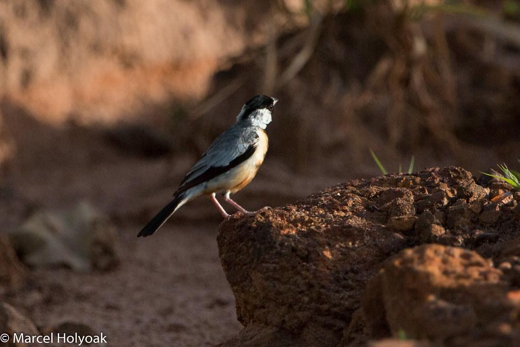Coal-crested Finch (Charitospiza eucosma), Chapada dos Guimaraes, BR, 2014-04-09--111