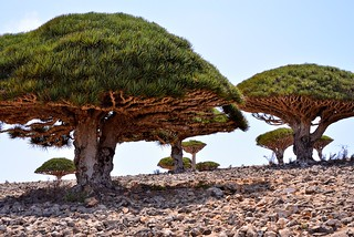 Dragon's Blood Trees, Socotra Is, Yemen | by Rod Waddington