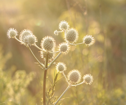 sunset weed colorful bokeh wildflowers prickly oswegoillinois