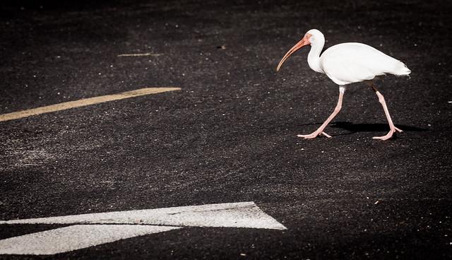 Caution: Ibis crossing