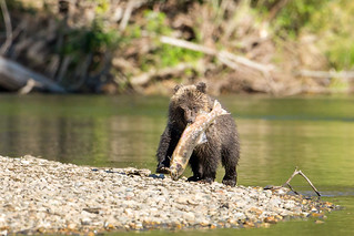 Grizzly Bear Cub with a Salmon | by Mick Thompson1