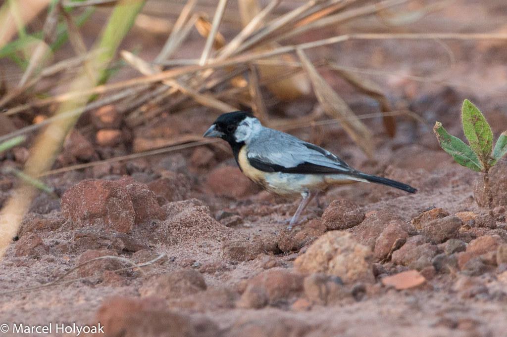 Coal-crested Finch (Charitospiza eucosma), Chapada dos Guimaraes, BR, 2014-04-09--107