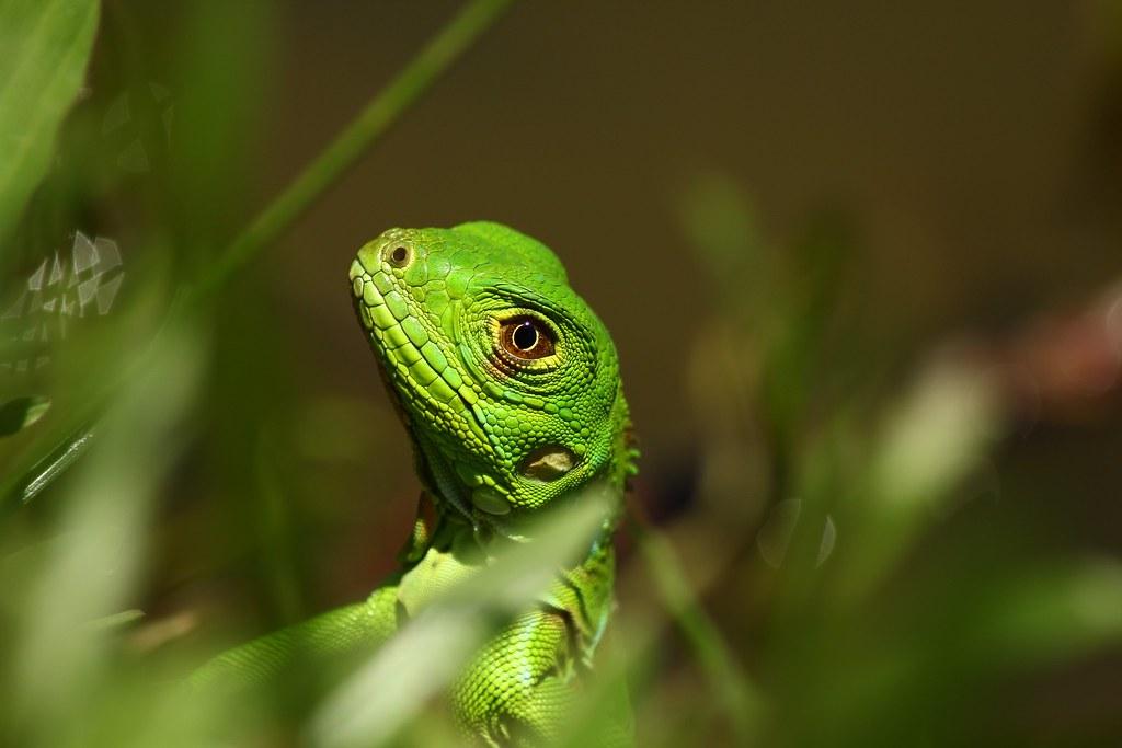 Iguana (Ctenosaura macrolopha)