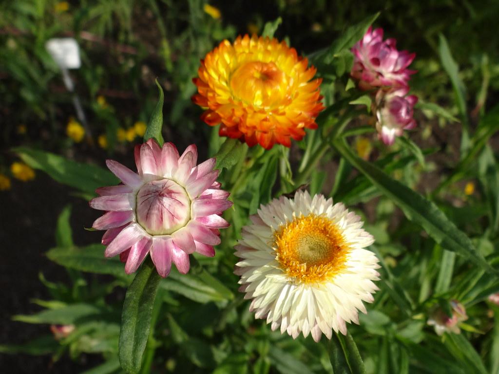 Botanischer Garten und geflügelte Wünsche der blhenden Blumen vor den großen schweren Karren der Zukunft des Blütenglücks gespannt, nun lernt der zürnende Zorn, die schwarzen Wetterprophezeiungen in Dresden 01323