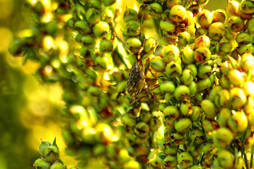 red apple beauty field sunrise spectacular dawn pyramid sunny science orchard wv research westvirginia sunflower stunning sorghum bud agriculture simply sublime ars magical traps hdr entomology inwood usda unitedstatesdepartmentofagriculture ldr hemiptera pentatomidae kearneysville halyomorphahalys brownmarmoratedstinkbug trapcrop