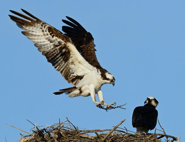 Ospreys at their Nest