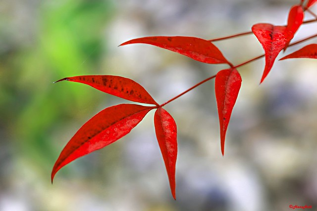 autumn color of Heavenly Bamboo