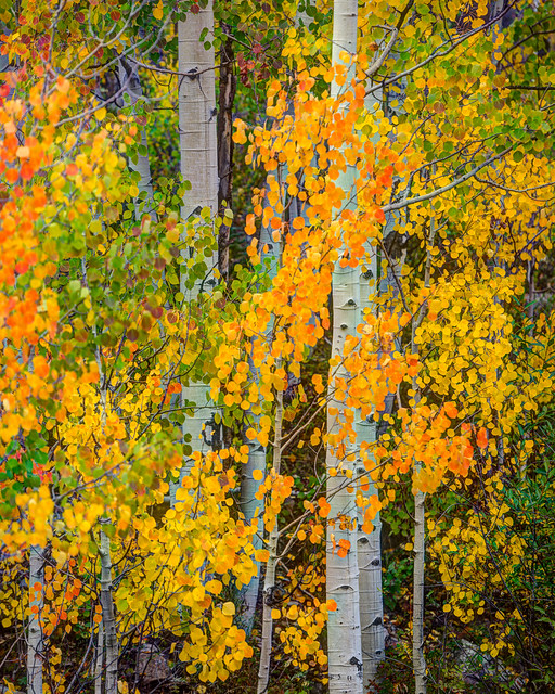 Green, Yellow, Orange and Purple Aspen Leaves