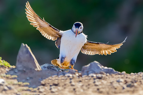 Puffin Skomer Island Wales 2014 | by iesphotography