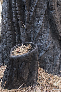 Burned Pines