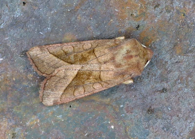 2361 Rosy Rustic - Hydraecia micacea