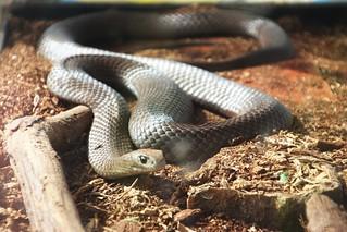 Eastern brown snake shown at Fawkner tree planting -IMG_7815 | by John Englart (Takver)