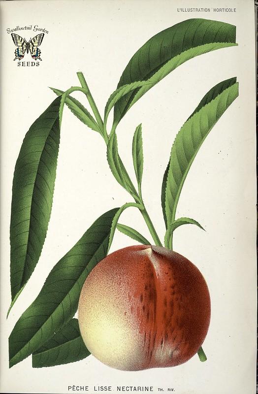 Necterine. Prunus persica nectarina. L' Illustration horticole, vol. 29 (1882)
