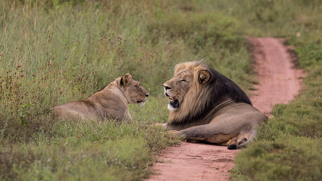 Lions in Entabeni South Africa
