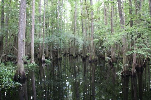 hot green water beautiful reflections florida gators bald bugs swamp cypress shady humid