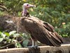 Hooded Vulture by Makgobokgobo