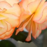 球根ベゴニア 'フェアリライト' Tubeous begonia'Fairylight'