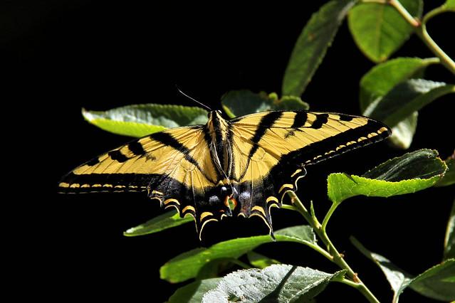 A Western Tiger Swallowtail on a cherry tree leaf.
