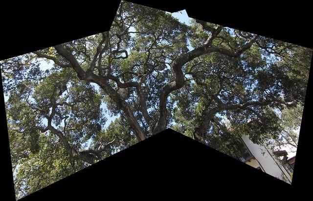 IMG_2711_2 140702 SBMNH oak tree ICE rm stitch99