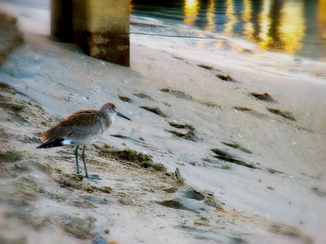 Sandpiper At Sunset