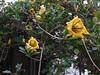 Solandra grandiflora-01
