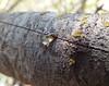 Pistacia lentiscus-03