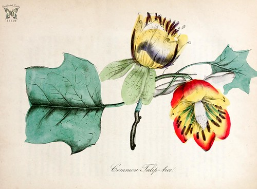 Tulip tree. Liriodendron tulipifera. The American flora vol. 3 (1855)