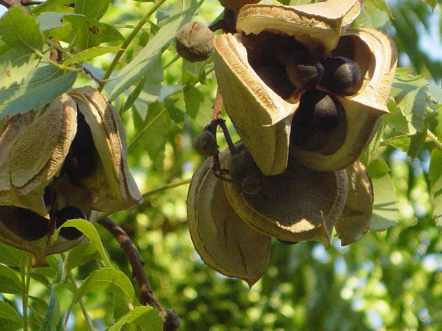 Xanthoceras sorbifolium 32728837274_ea95d83ef5_z