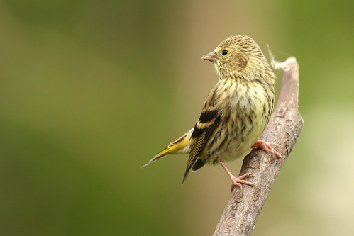Fledgling Siskin | by dinners85