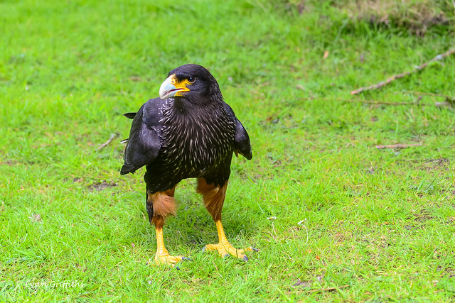 Striated Caracara D61_3055-9.jpg