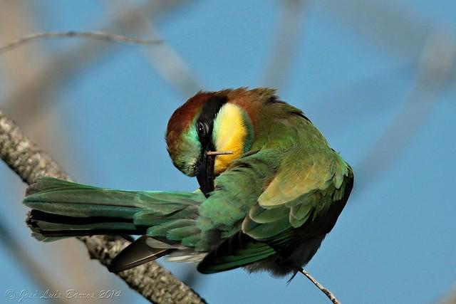 Abelharuco | Merops apiaster | Bee-eater (Juv)