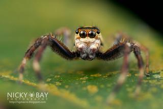 Jumping Spider (Telamonia sp.) - DSC_9579