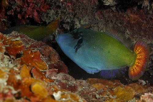 Pervagor janthinosoma 紅尾前角單棘魨