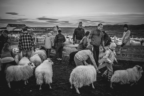 Sheep gathering in Vogar in North Iceland   by AdalsteinnSvanHjelm