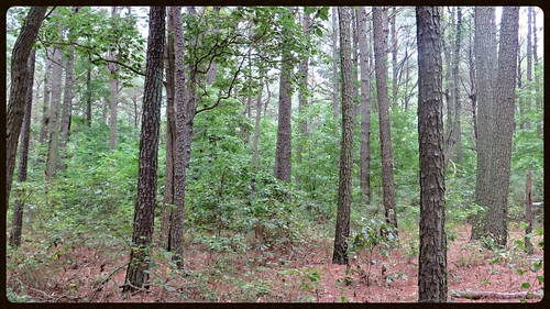 nature woods loblolly pinegrove