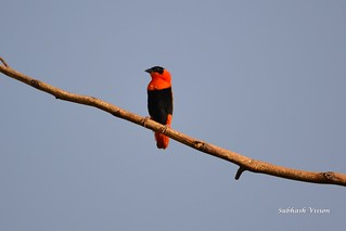 Northern Red Bishop or Orange Bishop (Euplectes franciscanus) | by SUBHASH VISION