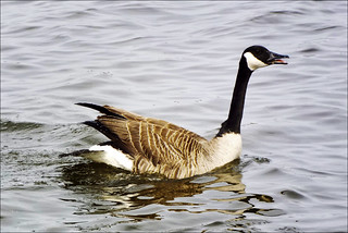 Canada Goose | by dbuckle2695