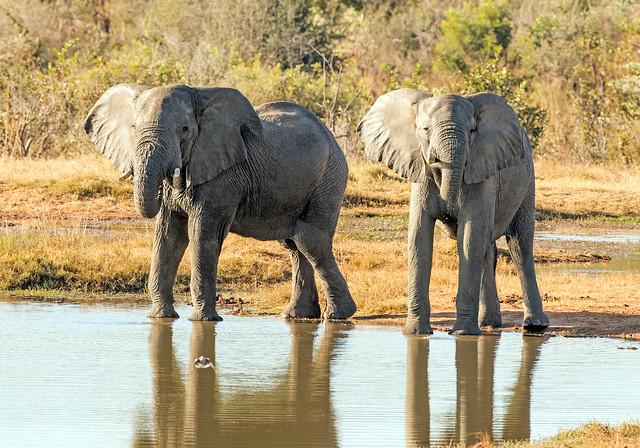 Elephant, Loxodonta africana, Ivory Lodge, Hwange National Park, Zimbabwe
