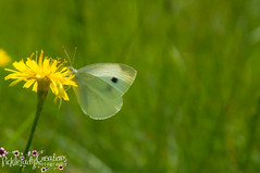Cabbage White Butterfly-6998