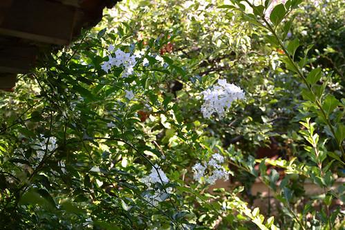 Solanum jasminoides - faux-jasmin 14914700041_f6152fffc3