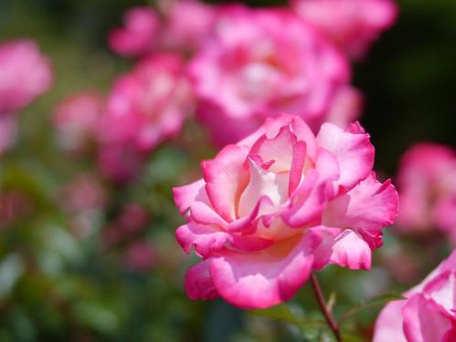 rose バラ asaborake あさぼらけ