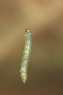 Abseiling caterpillar #4 | by Lord V