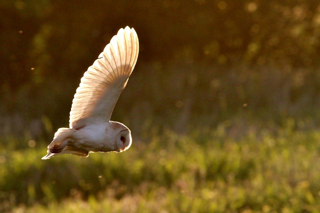 photo of a barn owl flying