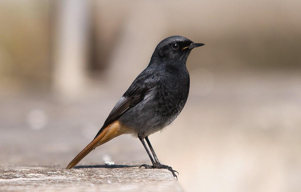 Rabirruivo preto   Phoenicurus ochruros   Black Redstart