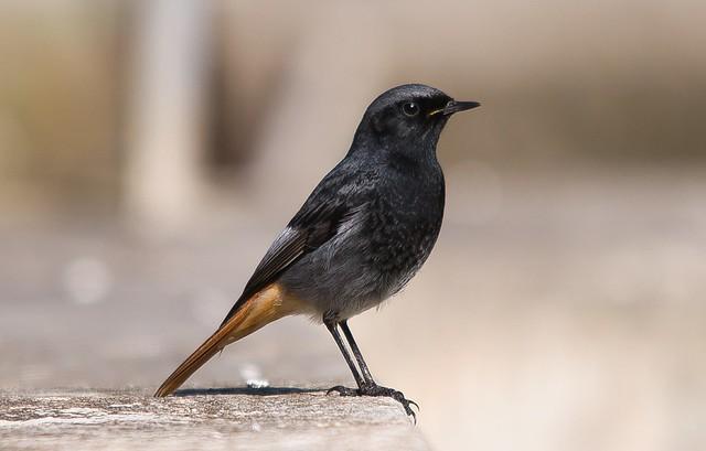 Rabirruivo preto | Phoenicurus ochruros | Black Redstart