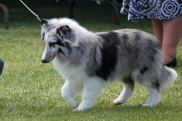 Shetland Sheepdog Cat friendly breed