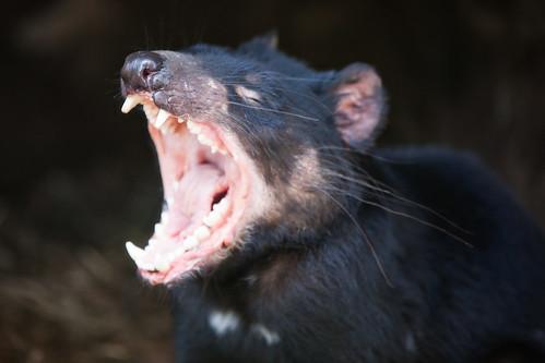 Tasmanian Devil | by Malenkov in Exile