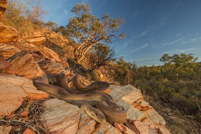 Olive Python at Sunset