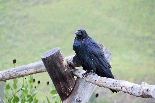 Raven at Dunraven