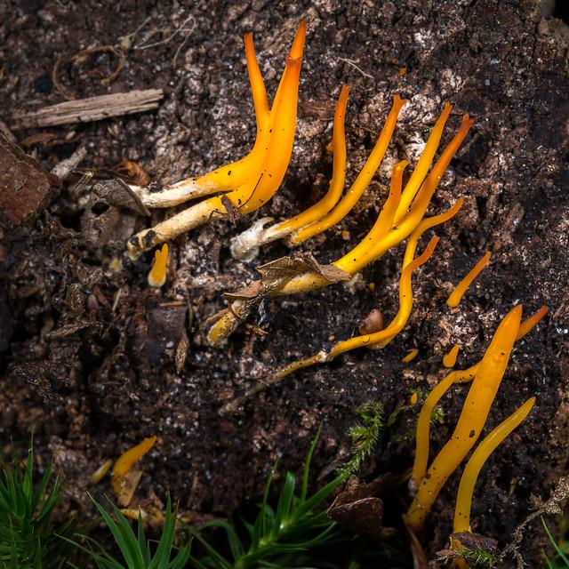 Calocera cornea - Calocère cornée